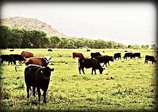 Cows sm